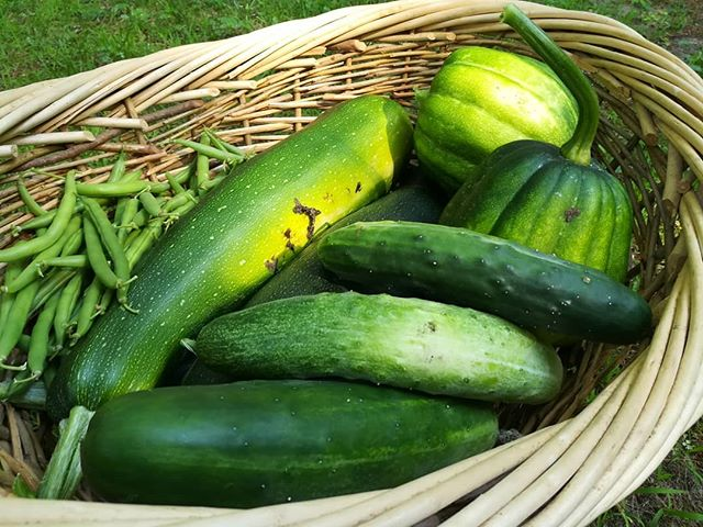 Half of last week's harvest. There was an abundance of green beans and zucchini, as well as a few cucumbers, acorn squash, tomatoes, butternut squash, and herbs. [image description: basket filled with green beans, zucchini, cucumbers, and acorn squash]  #eatrealfood #eattherainbow #gardening #spiritualretreat #retreatcenter
