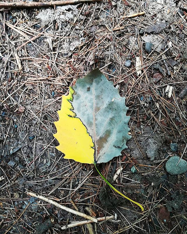 The mighty aspen leaf reminding us of the power of dualities; that us humans crave contrast, for better or for worse. This leaf will return to the earth to sustain a new tree, and again, and again, and again. Life cannot exist with death. [image description: a half dead aspen leaf on the ground, which is covered in pine needles, sticks, and rocks]  #aspenleaf #minnesotasummer #duality #workhere #livehere #behere #spiritualretreat #retreatcenter #workexchange #healershealhard