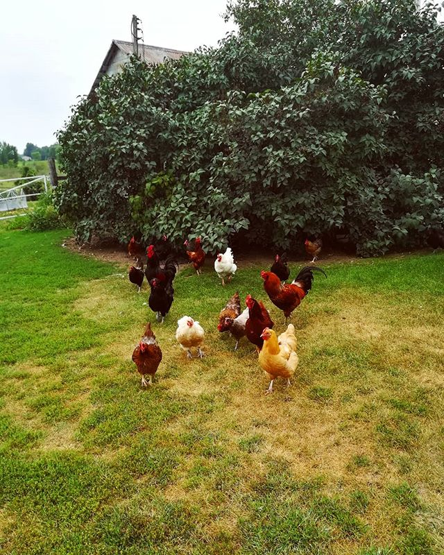We got to meet the chickens who lay our eggs! 🐓 . As mundane as it might seem, where you buy eggs (or anything really!) can be so magickal and rooted in spirit. . First is the power of choice. Everyone has a choice who they support, although some have more choice than others, which is certainly a privilege that not everyone has access to. . Second is the relationships formed. We know the person we're financially supporting; we know some of the chickens' names (my favorite was Copper); and we have incredible conversations with our guests over mealtimes where we often serve eggs in various forms. . Third is the act of simplifying. When we decide that all the extra steps between when a chicken lays their egg and when we hold the egg in our hands aren't necessary (being washed, packaged in styrofoam, and shipped halfway across the country), there's a beautiful peace of mind. We get our eggs from 4 miles away (also farm eggs are usually beautiful colors!) . Anything else you can think of that making buying eggs a spiritual experience? . PS - if you're in the Grandy/Stanchfield area and want local eggs, send us a dm and we can hook you up with our egg lady! . [image description: first image is 17 chickens and roosters hanging out near the bush by their coop. second image is the barn with a tractor and a trailer of hay bales in front. third image is one of the roosters with a few hens nearby.] . #buylocal #supportsmallbusiness #farmeggs #fresheggs #themagickalandthemundane #everythingisspiritual #retreatcenter #prayhere