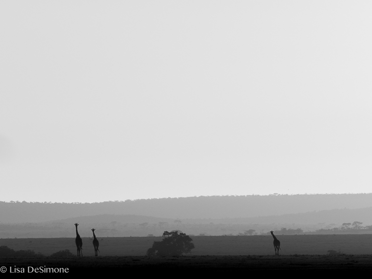 silhouettes at sunrise, maasai mara kenya