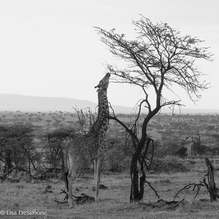 Kenya giraffe BW-17.jpg
