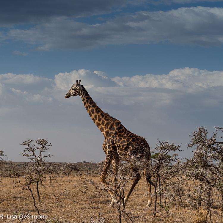 Kenya giraffe color-6.jpg