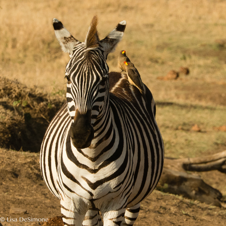 Kenya zebra color-5.jpg