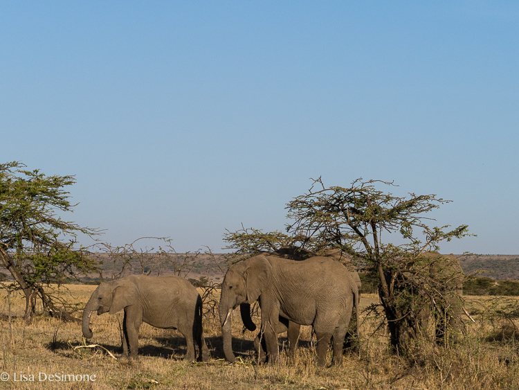 kenya elephant color-5.jpg