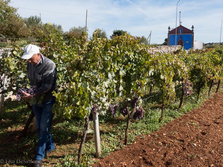 My new friend in Puglia and his grape vines