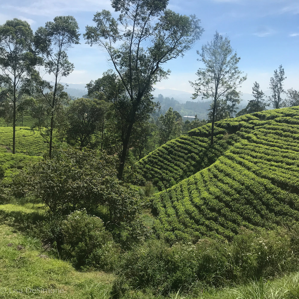 Tea plantations cover much of the land in the middle of Sri Lanka