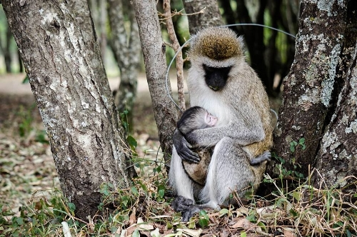 Monkey mama breastfeeding her baby, photo by Corinna Wyles-Plumley