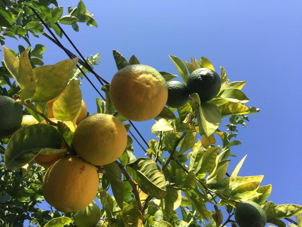 Zitronenbaum mit Telefonkabelschmuck: ein kalifornisches Stilleben