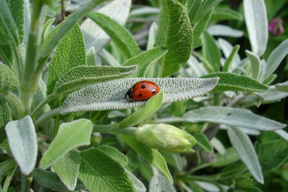 ladybug-1428899.jpg