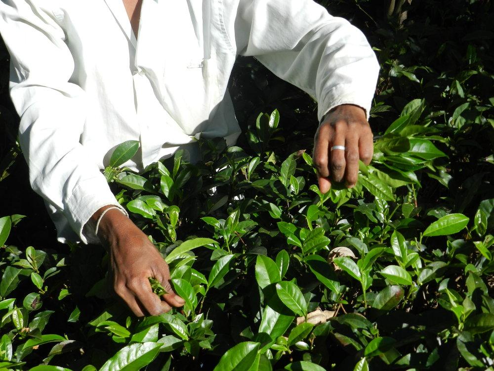 23 hands showing picking tea copy.JPG