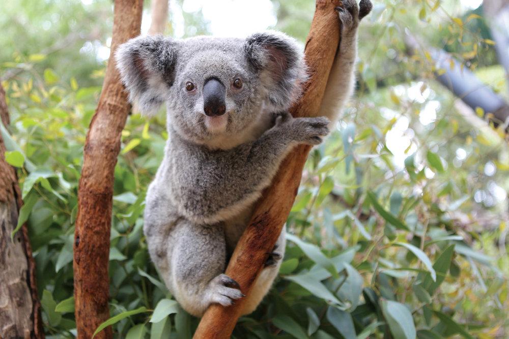 Koala_AH2Q1878_edbook.jpg