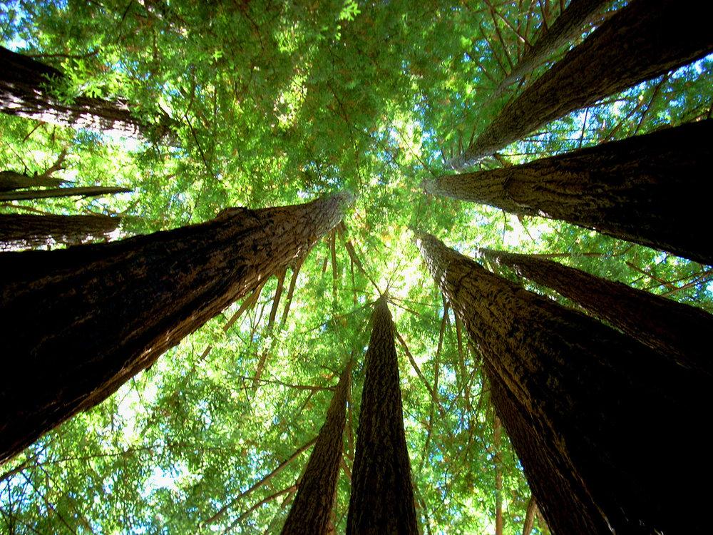 redwoods looking up.jpg