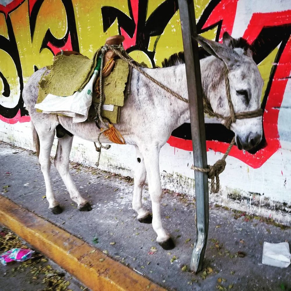 Getting out and exploring cities is one of my favorite things to do.  While we were at the grocery store, I spotted this donkey tied up on the street and couldn't resist.