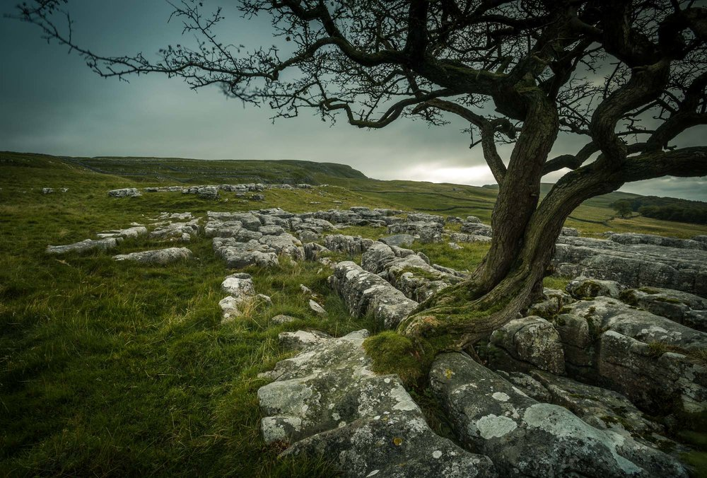 Hawthorn boughs with limestone pavement