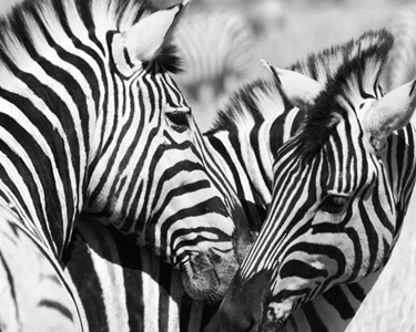 Zebras Edited Black & White 3.5x5 -150 - cropped.jpg