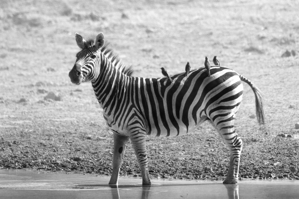 zebra_wildlife_africa_safari_wild_nature_mammal_animal-828564.jpg!d.jpeg