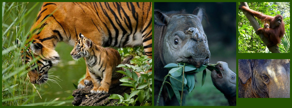 Iconic species of the Leuser Ecosystem of Sumatra, Indonesia
