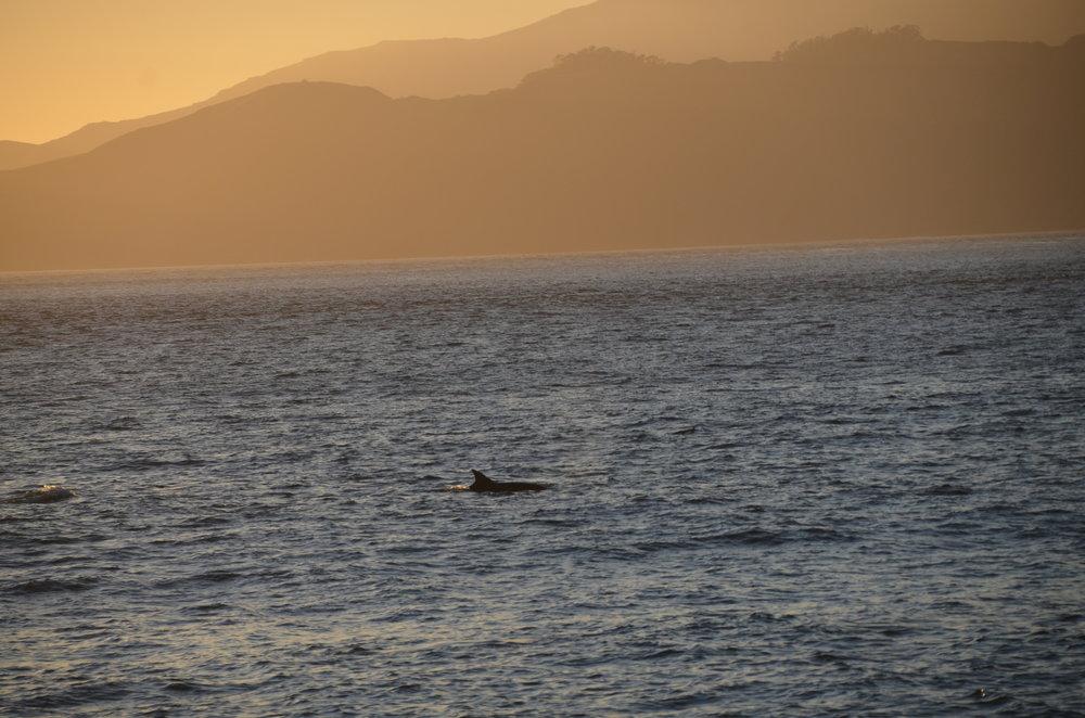 Dolphins at Marshall's Beach