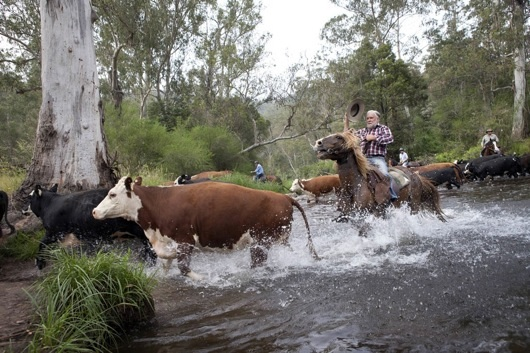 Charlie Lovick heads his cattle across the Howqua River in the Howqua Historic Hills Area in Mansfield State Forest Victoria on Fri 30th November.  Photo: Copyright Melanie Faith Dove