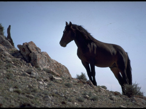 bill-eppridge-wild-mustang-horses-running-across-field-in-wyoming-and-montana.jpg