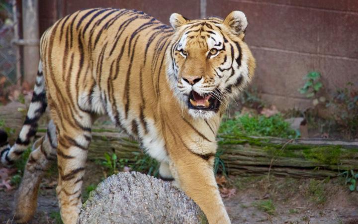 Tiger-.jpg