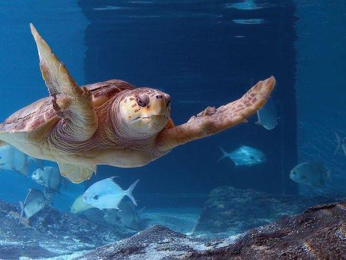 MaritimeAq_loggerhead_Nas-Maritime_Aquarium_at_Norw-20000000001560864-500x375.jpg