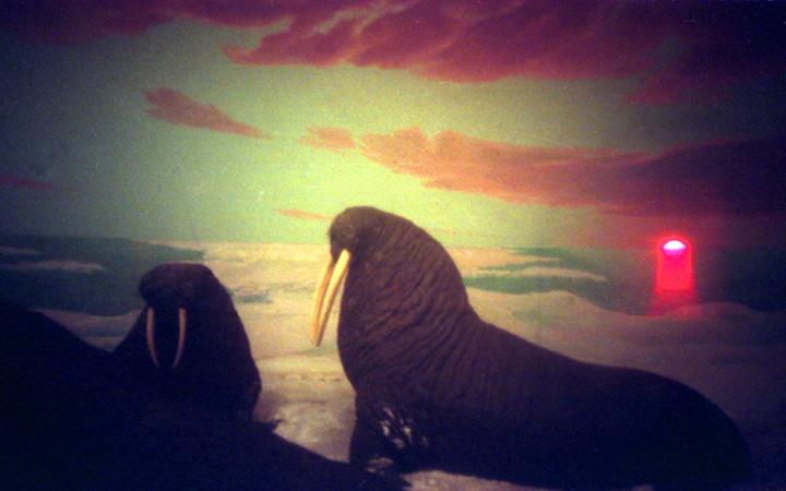 Walrus Sunset