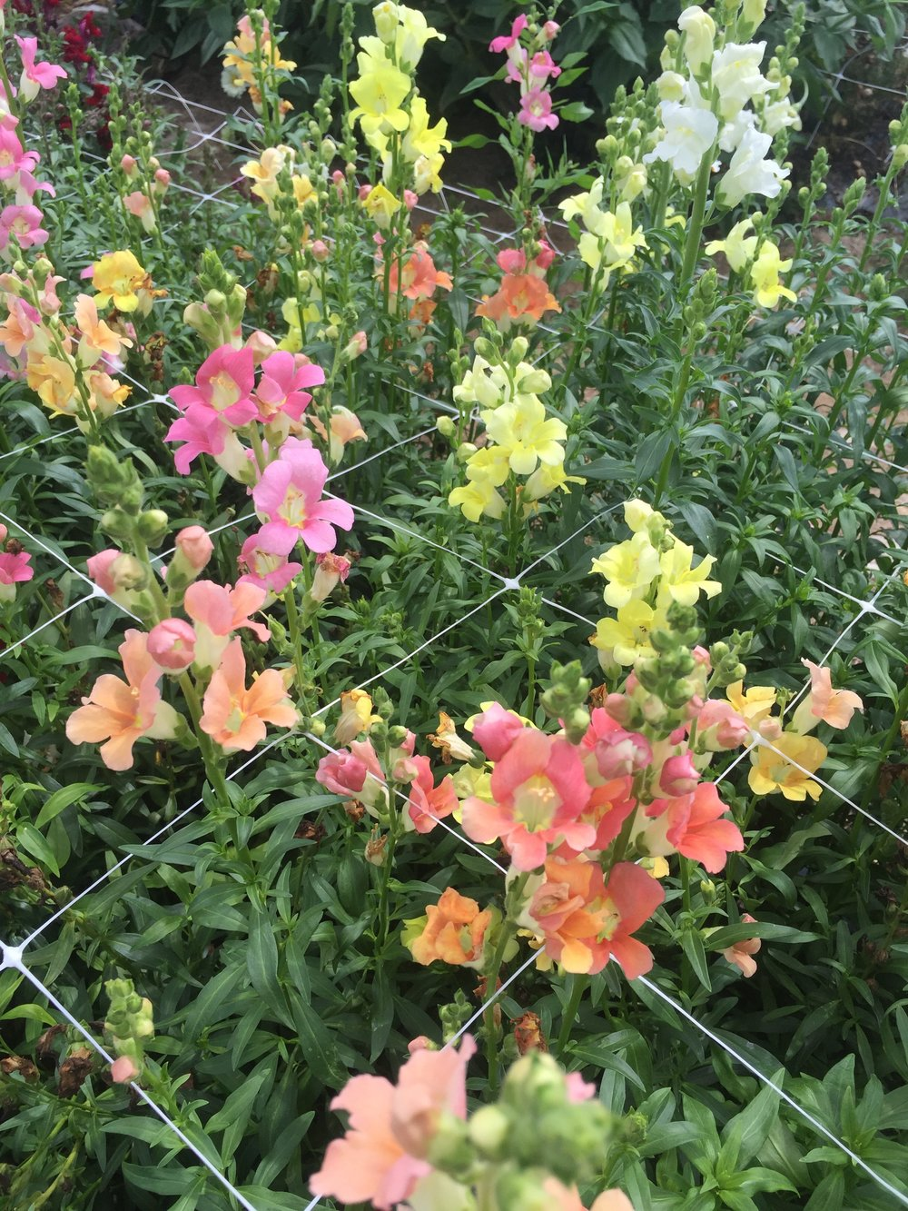 Snapdragon, 'Chantilly mix'