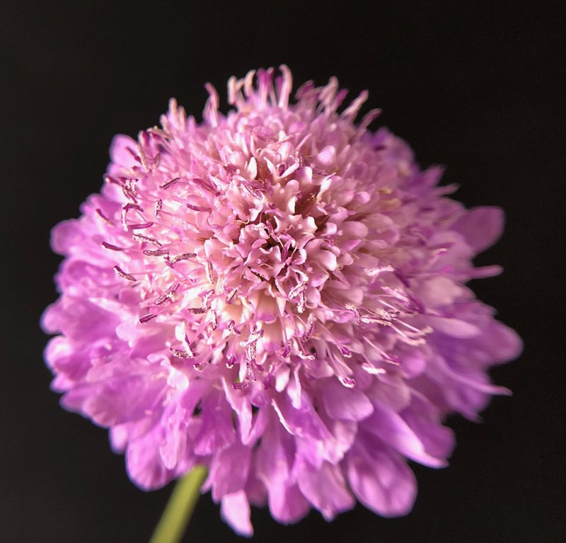 Scabiosa, pink
