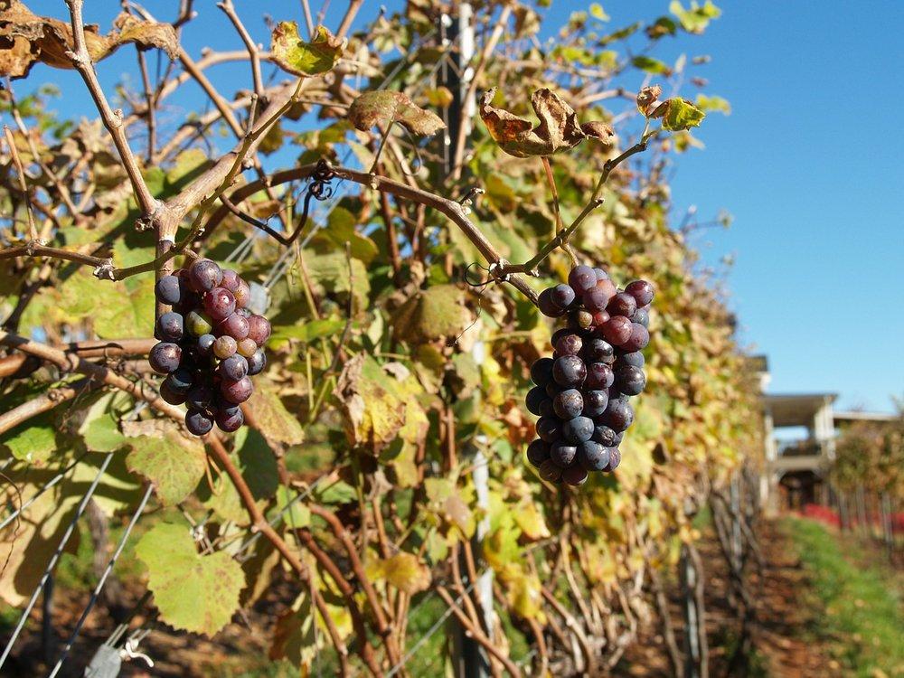 Druiven in de herfst