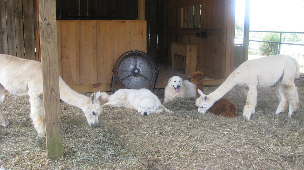 Maremmas hanging out with the female alpacas.JPG