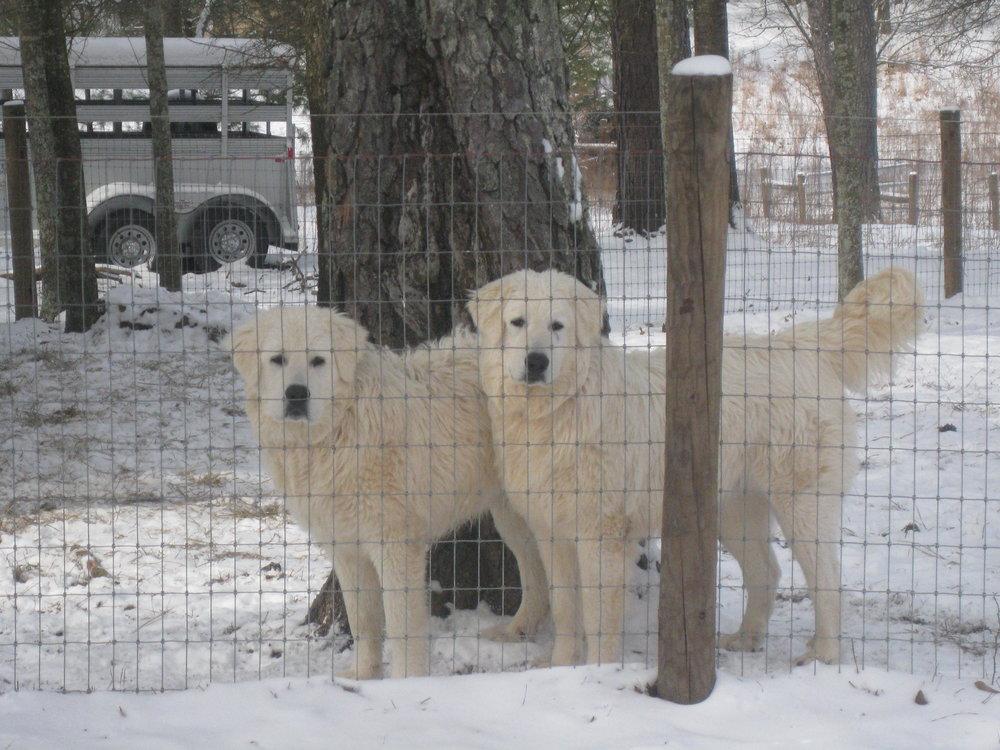 The 2 Puppy Maremmas.JPG
