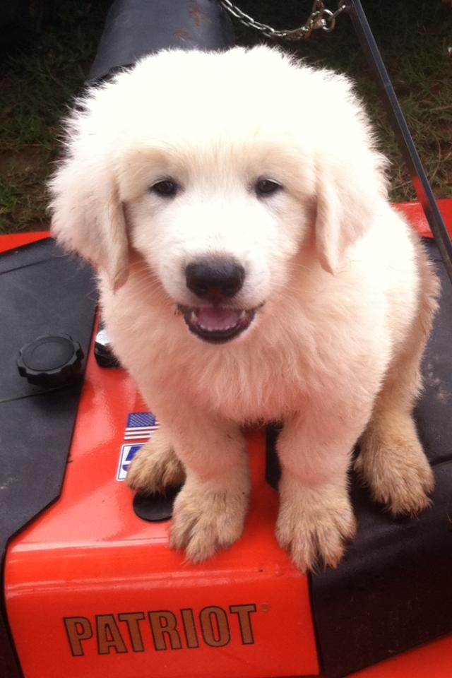 Patriot Puppy Maremma.png