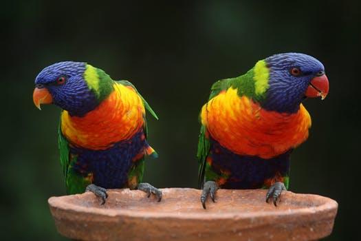 rainbow-lorikeet-parrots-australia-rainbow-37833.jpg