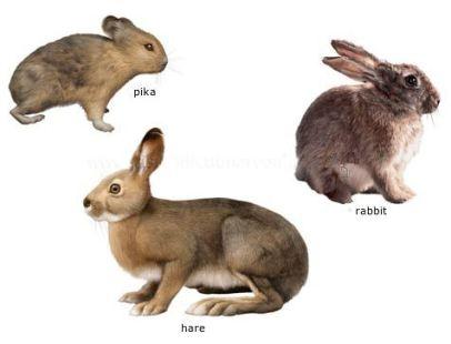 Pika Rabbit Hare. Same Scientific Family. Petculiar