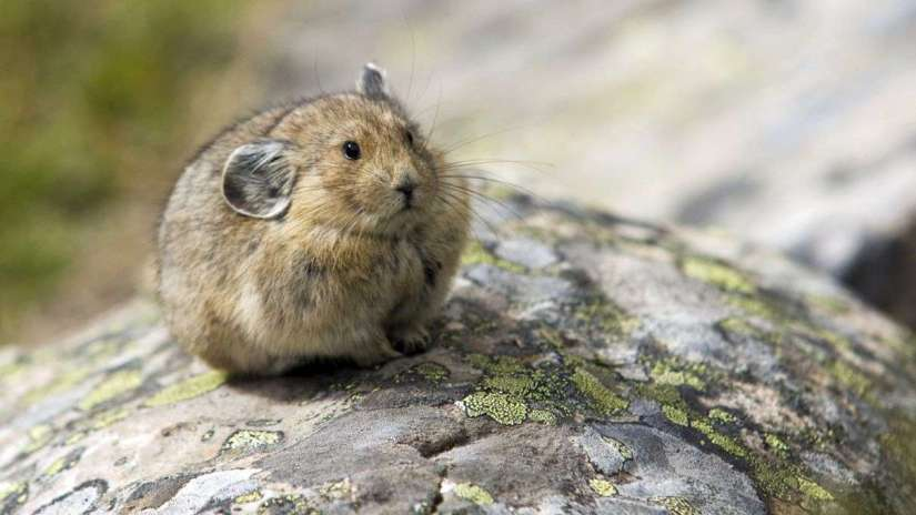 Cute Pika on Rock. Pet. Petculiar.