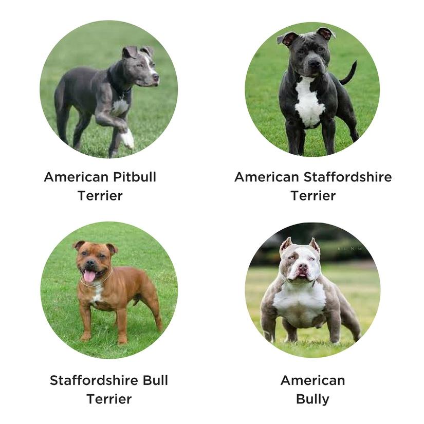 4 types of pit bulls. Petculiar