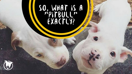 So what is a pit bull exactly?