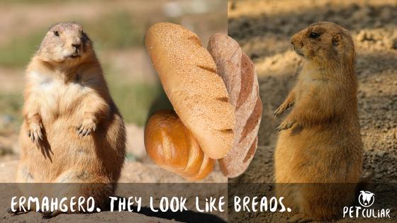 Prairie Dogs look like loafs of bread. Petculiar
