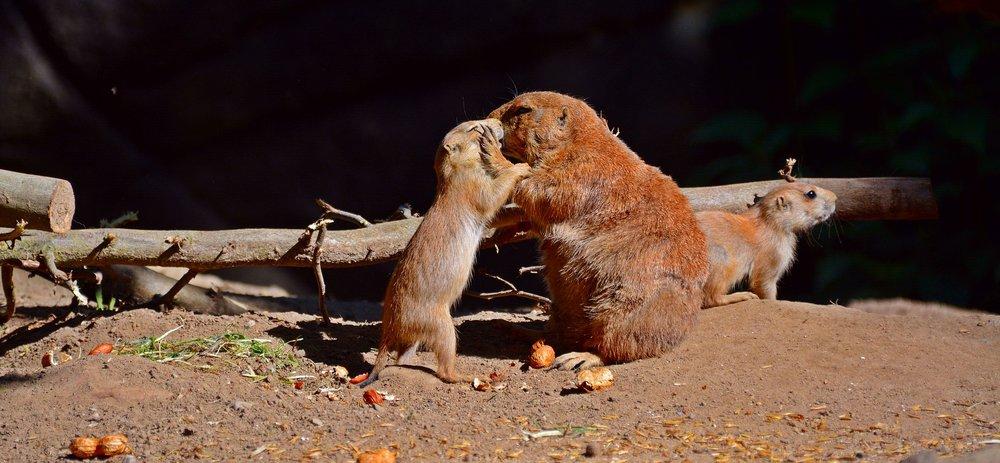 Prairie Dogs. Sweet. Cute. Pet Prairie Dogs