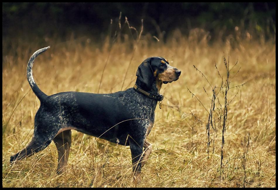 Blue Tick Coonhound.jpg
