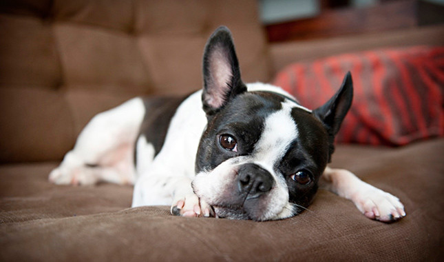 Boston Terrier from America