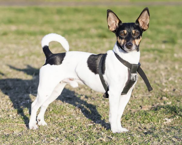 Rat Terrier Dog From America