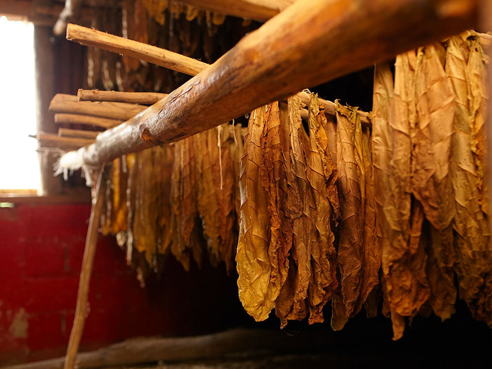 Tobacco leaves hanging to dry. Also called PigTails.
