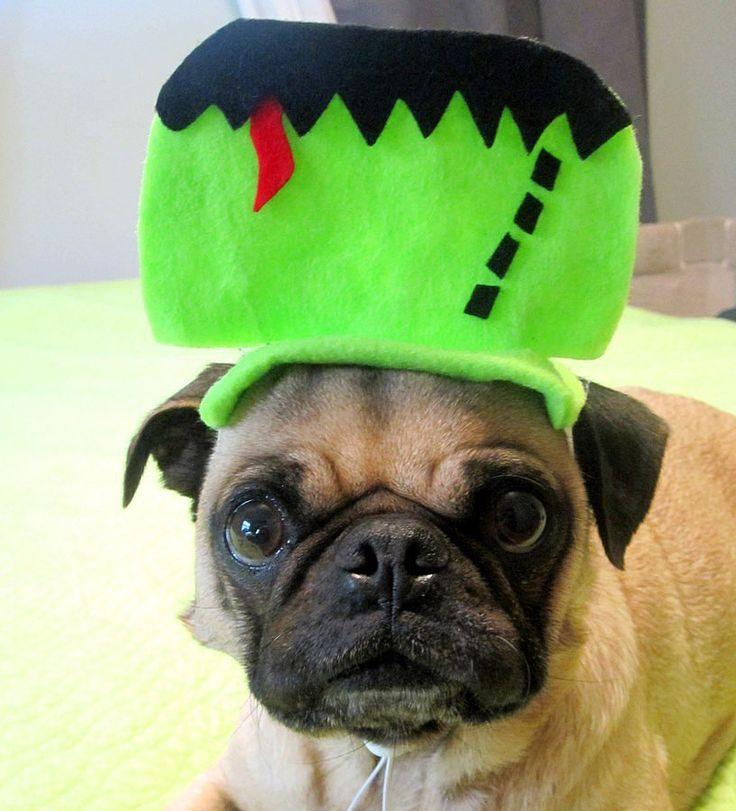 pet costume frankenstein. DIY Halloween. Pug