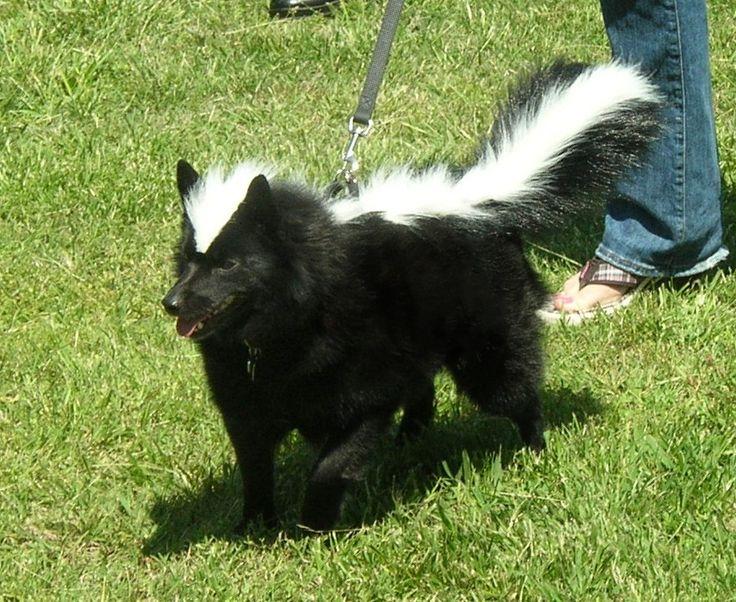 skunk pet costume DIY Halloween