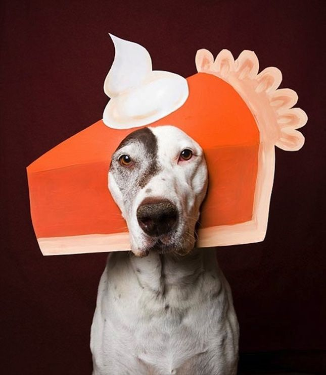pumpkin pie pet diy costume dog Halloween ideas