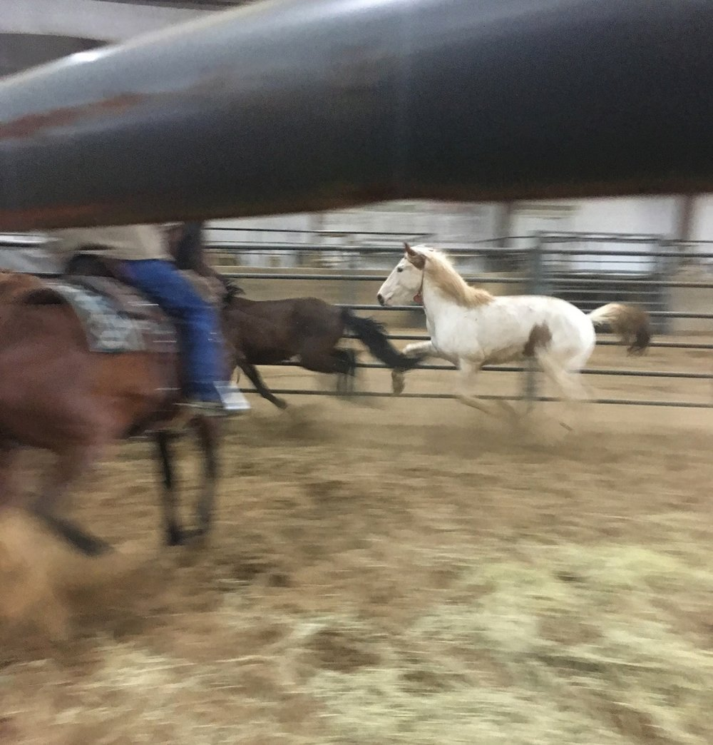 These mustangs being sorted by a BLM official. Prospective adopters may request to see a particular horse in a pen alone to see how it moves before making a final decision.