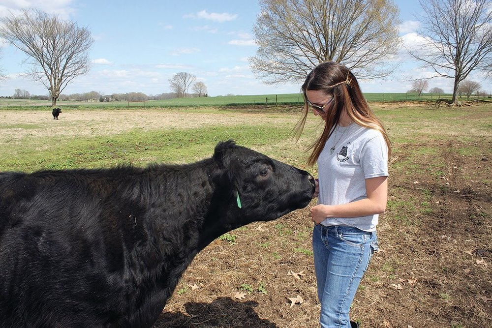 Alyssa Alley feeds her Dexter cow Clara Bell.