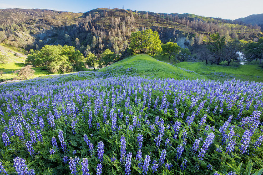Lupine field at Berryessa Snow Mountain National Monument